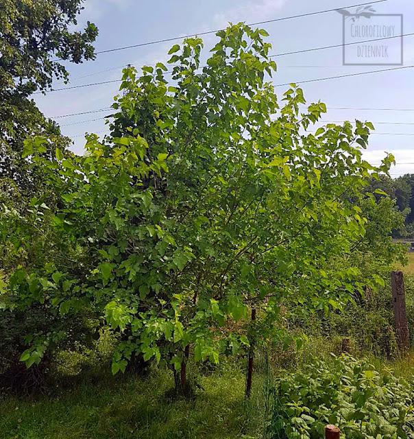 Morwa biała (Morus alba) - owoce, owocowanie, uprawa w gruncie, hodowla, po ilu latach zaowocuje, owocowanie morwy białej w Polsce w gruncie, jak długo czekać na owoce, owoce morwy opłacalność, wartość, ciekawostki.