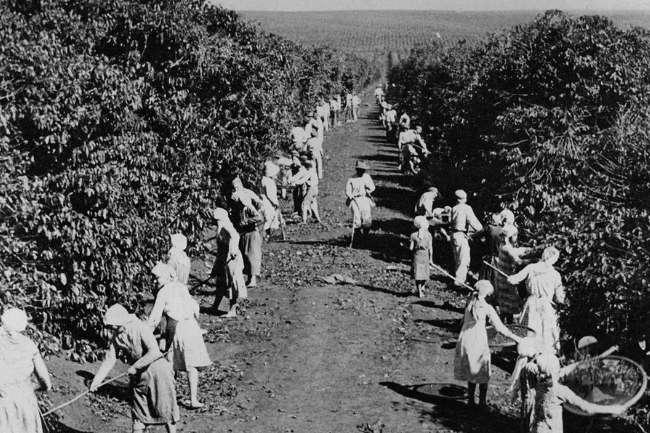 Trabalhadores em uma plantação de café colhendo café