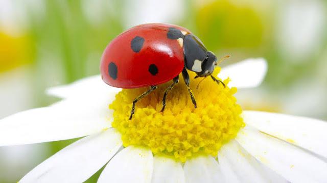 حشرة الدعسوقة