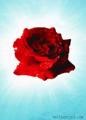 rose wallpaper hd rose wallpaper for mobile rose wallpaper blackpink