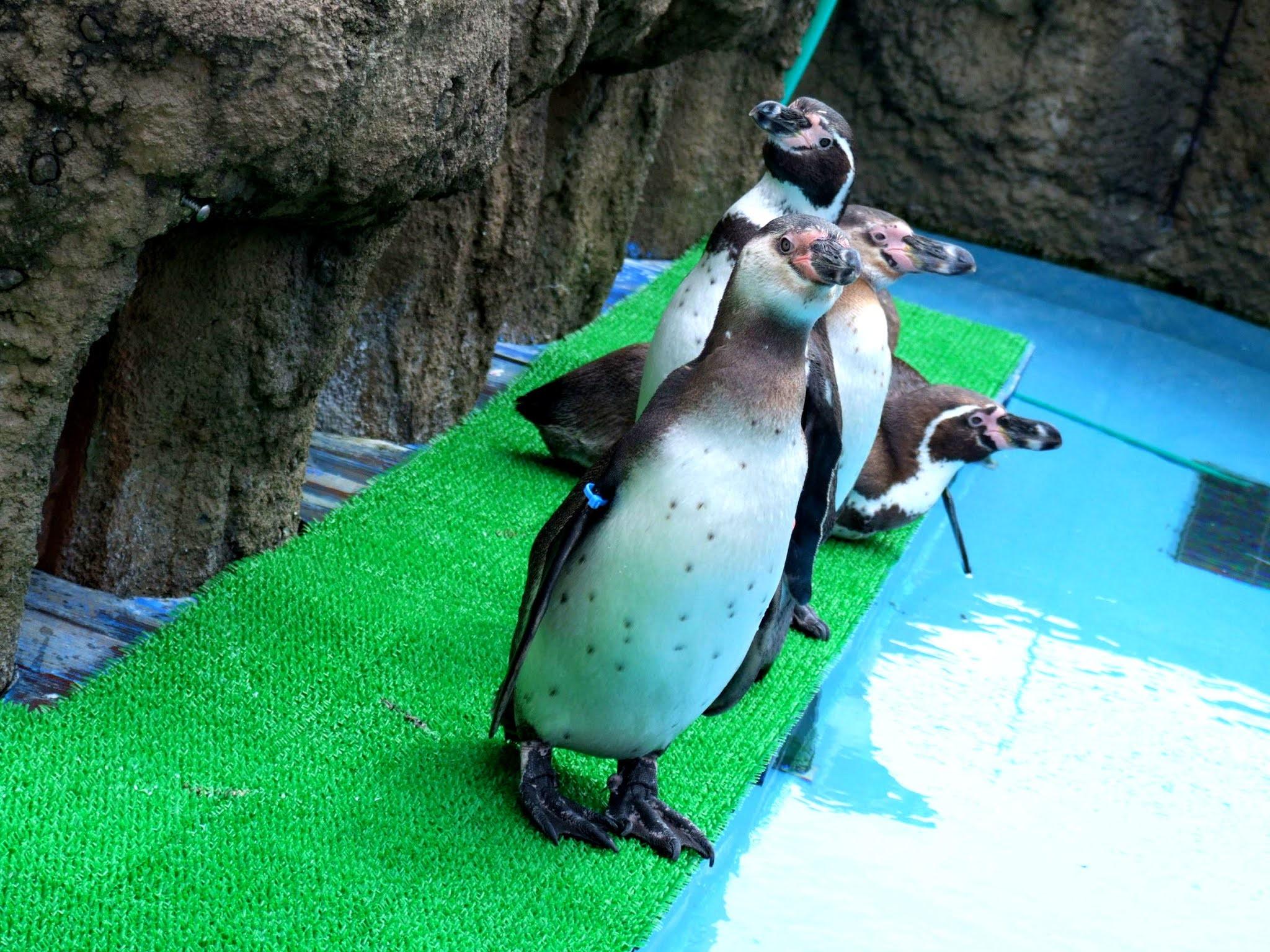 整然と列に並んでおりこうさんにしているペンギンさんたちの著作権フリーの写真素材です。