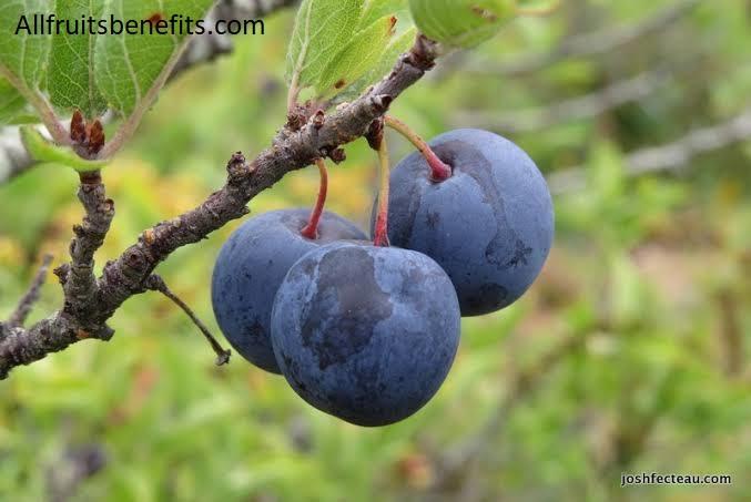 beach plum jam,beach plum bush,beach plums for sale,growing beach plums,beach plum jam for sale