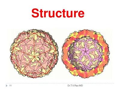 Structure of rhinovirus