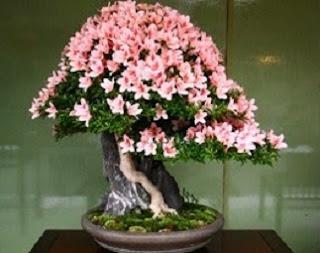 cara menanam bunga gelombang cinta,cara menanam bunga melati,cara menanam bunga mawar,manfaat bunga kamboja jepang,cara merawat bunga kamboja jepang,bunga kamboja jepang merah,