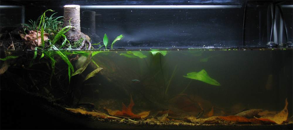 Breeding Chili rasbora (Boraras brigittae) : Aquariums