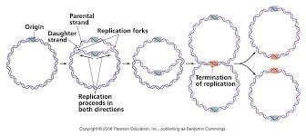 EC Honors Biology: Prokaryotic vs Eukaryotic DNA