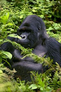 ¿Los gorilas de montaña son amistosos?