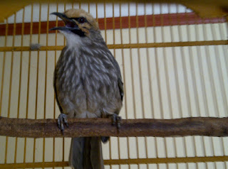 Burung Cucak Rowo - Rontoknya Bulu pada Burung Cucak Rowo - Penangkaran Burung Cucak Rowo