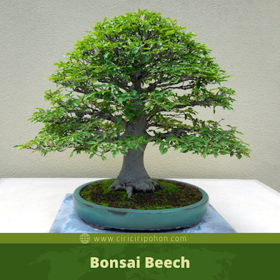 Bonsai Beech