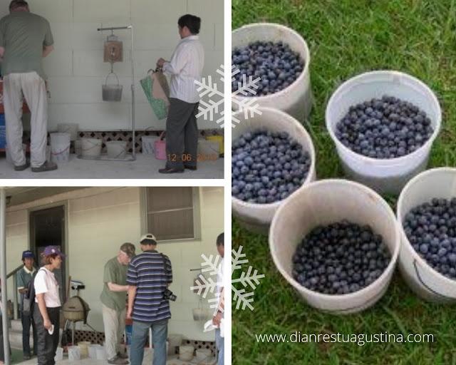 harga blueberry