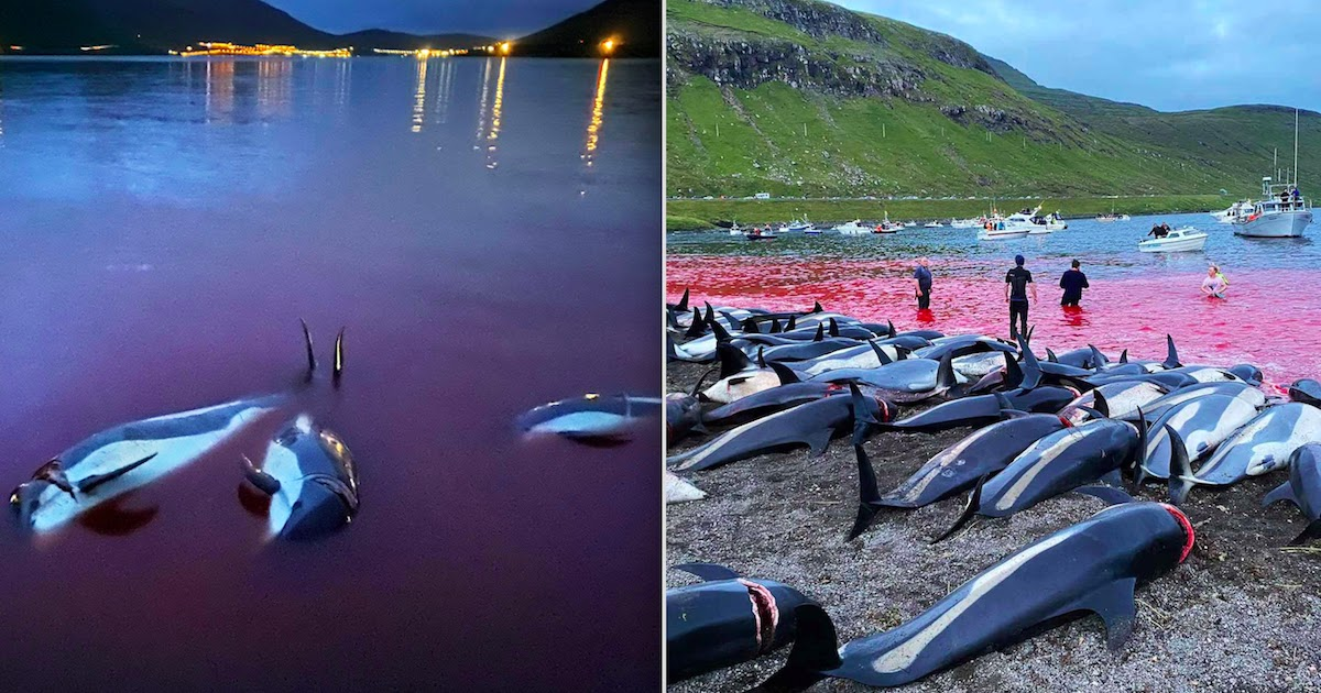 Faroe Islands Hunters Slaughter Almost 1500 Dolphins In 'Largest Single Hunt Of Cetaceans' Ever Recorded