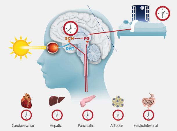 Resultado de imagen de ciclo circadiano