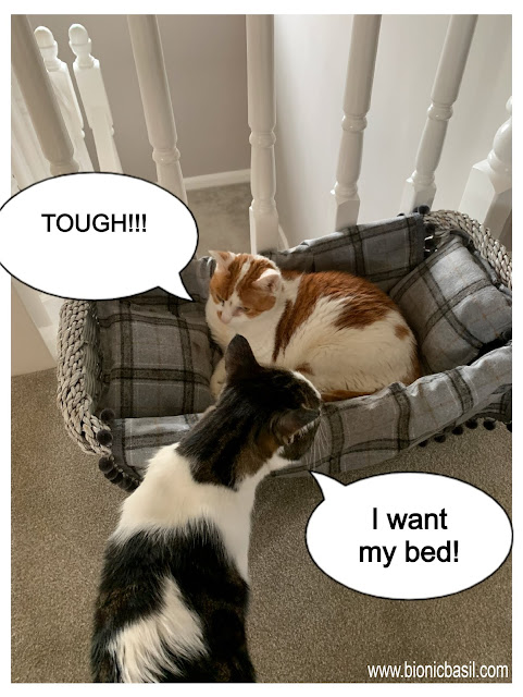 Feline Fiction on Fridays #124 ©BionicBasil® Melvyn Finds Amber In His Bed