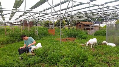 Solar sharing, goat, Tsukuba, Japan