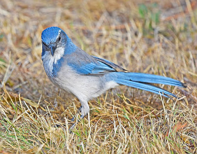 Birds in the corvid family are known to be intelligent. Studies on scrub jays show some startling results that do not fit evolutionary beliefs.