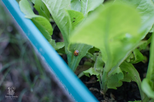 Bibb lettuce and lady bug (©Jenny Bell @ Flutterbye Chronicles)