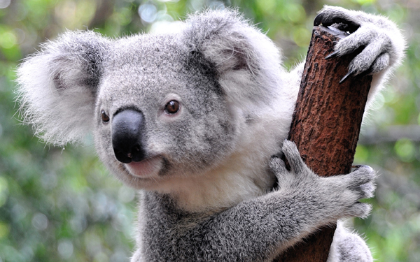 Hayvan Klişeleri - Koala