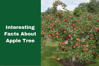 Interesting Facts About Apple Tree