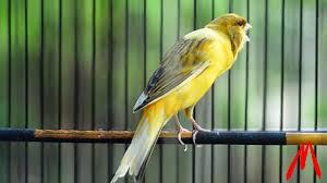 Cara Merawat Burung Kenari Agar Cepet Gacor
