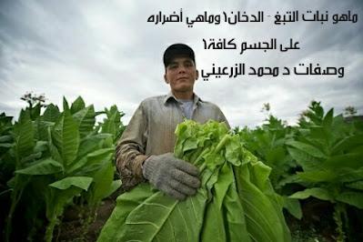 ماهو نبات التبغ - الدخان؟ وماهي أضراره على الجسم كافة؟