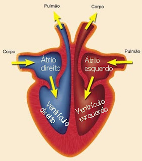 sistema circulatório resumo