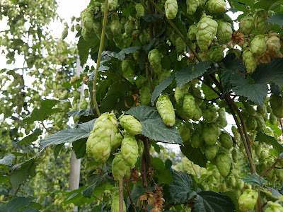 Nelson Sauvin hops, in Riwaka.