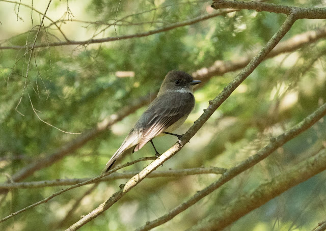Eastern Phoebe - Hartwick Pines, Michigan, USA