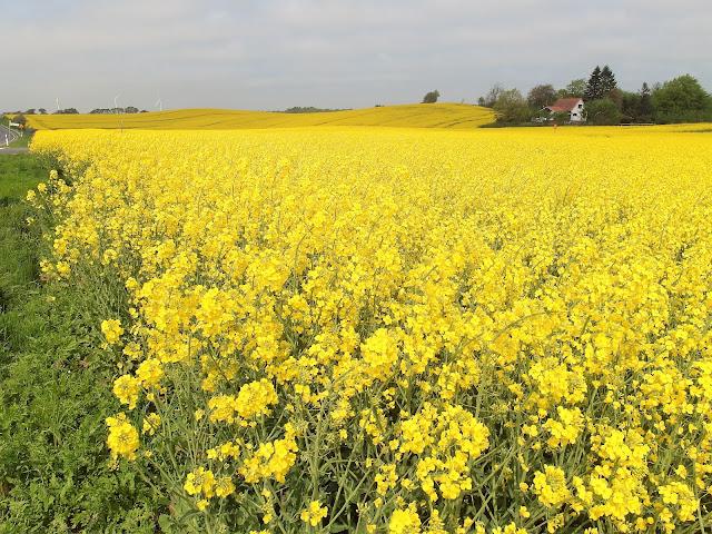 raps blommar i Skåne