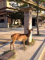 un cervo mi guarda davanti ad una lanterna di pietra