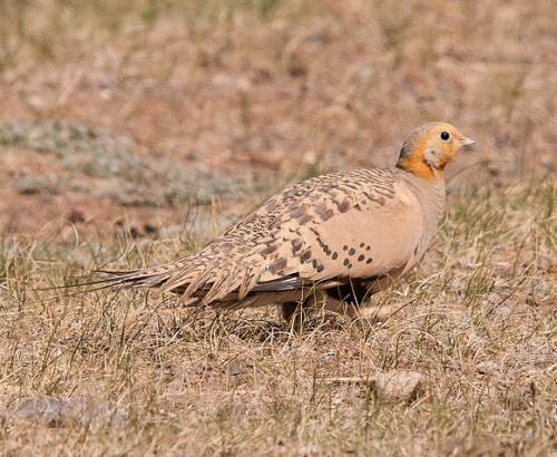 Indian birds - Pallas's sandgrouse - Syrrhaptes paradoxus