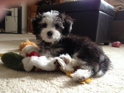 Chinese Crested Poodle mix (Chinese Crestepoo) Temperament, Size, Adoption, Lifespan