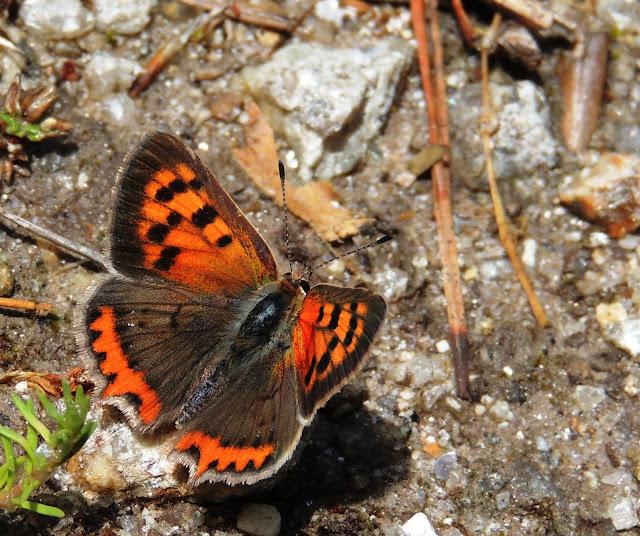 Lycaena phlaeas, anverso