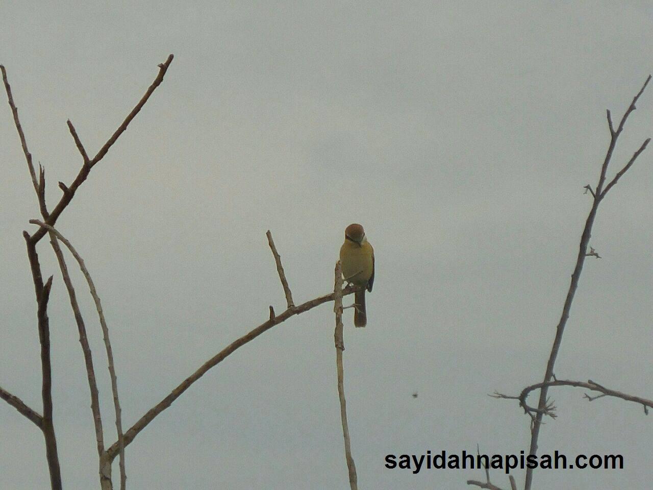 burung cantik selalu singgah belakang rumah