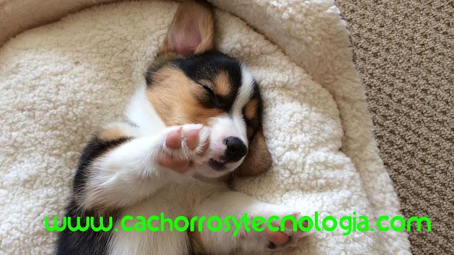 puppy eat cachorro edad comer pet www.cachorrosytecnologia.com shurkonrad