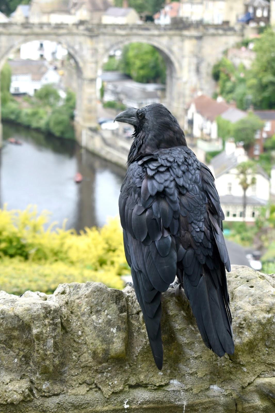 Knaresborough Castle Ravens