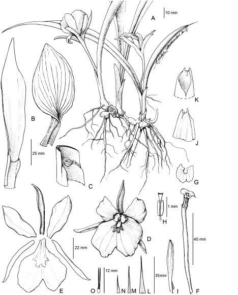Kaempferia pascuorum