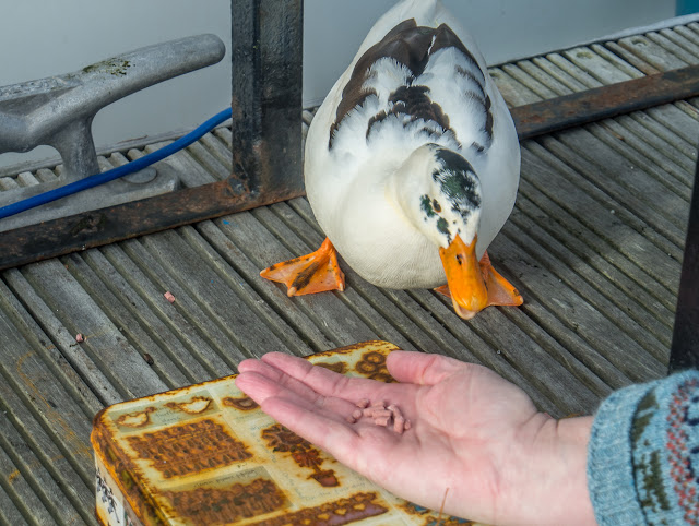 Photo of the magpie duck eating out of my hand
