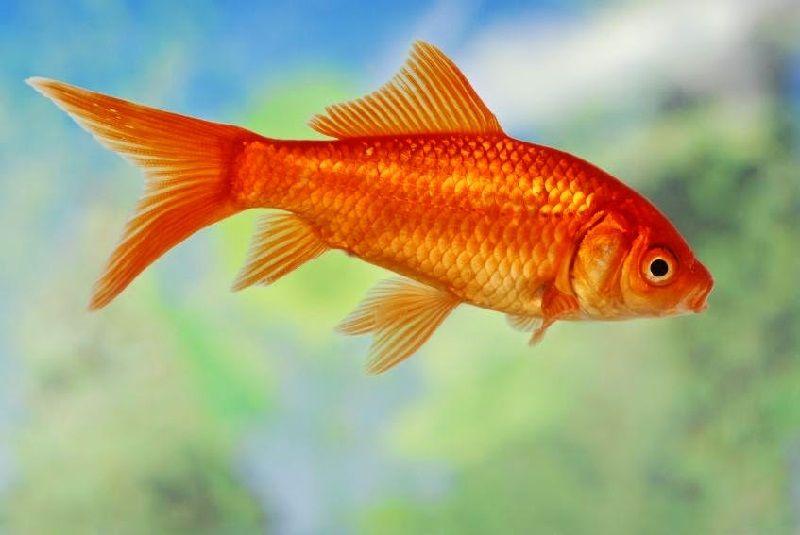 Gambar Ikan Ikan Pemakan Jentik Nyamuk - Ikan Mas