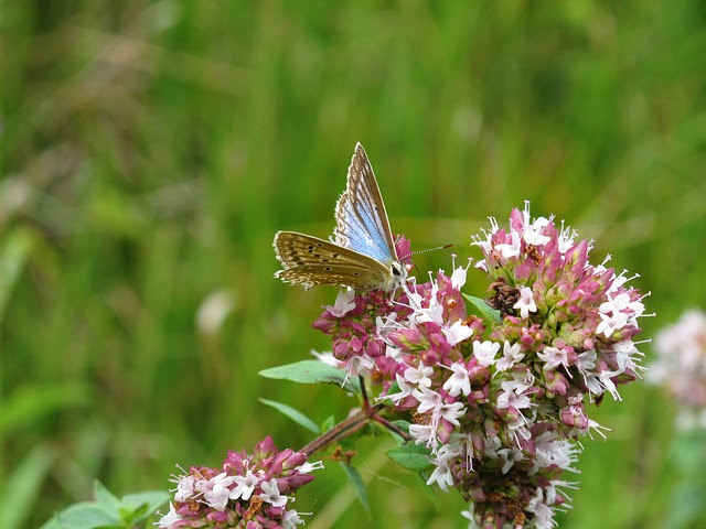 Mariposa libando en las hermosas flores de una planta de orégano