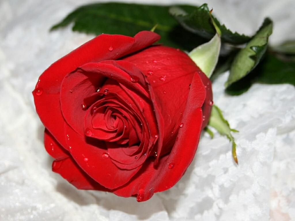 Beautiful Wallpapers Red Roses Matatarantula