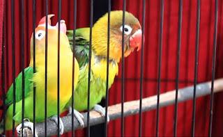 Lovebird fighter menjadi konslet