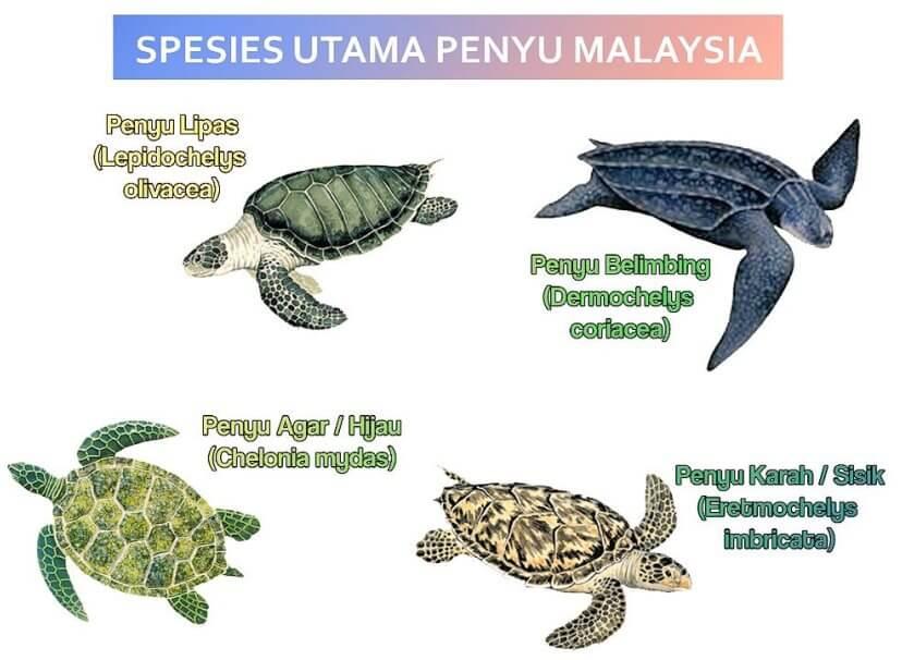 Penyu di Malaysia