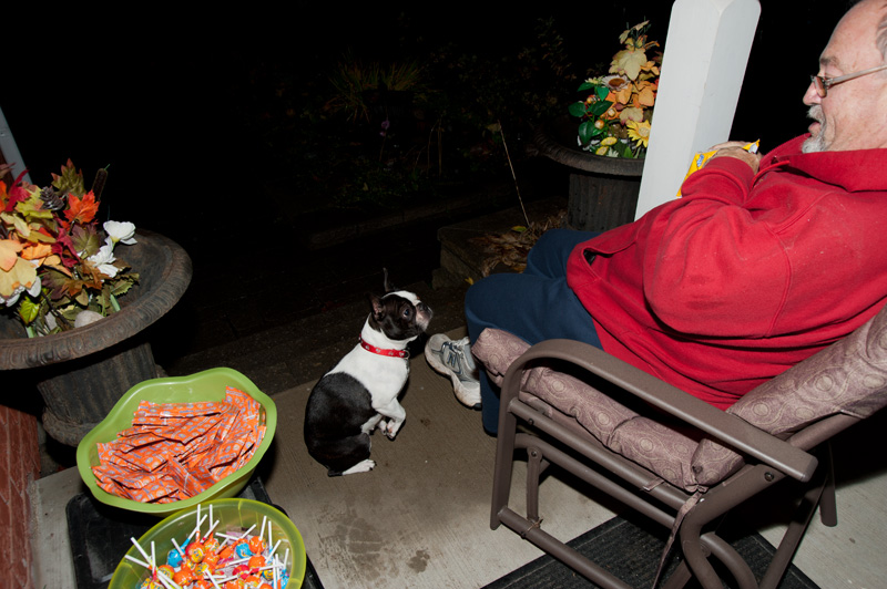 A small black and white Boston Terrier begging for her treats at Halloween.