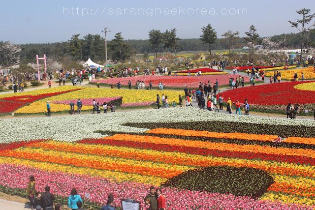 The Amazing Taean Tulip Festival (태안 튤립 축제)
