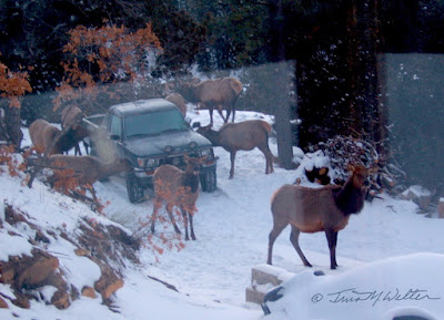 """The Elk Notice Us"" photo ©2011 Tina M.Welter"