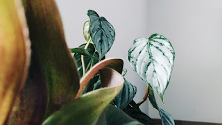 Watermelom peperomia - hanging plant