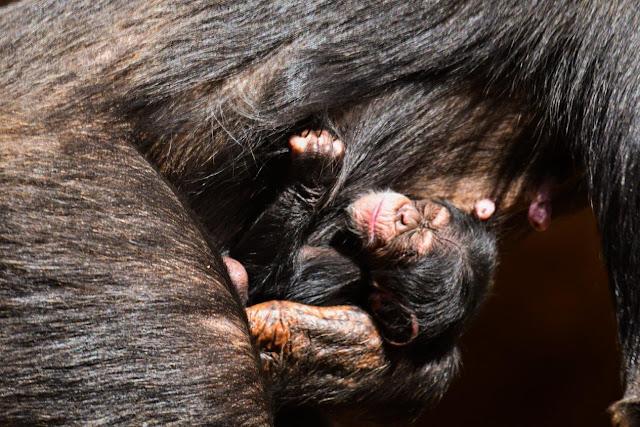 Resultado de imagen de Nace una cría de chimpancé en Loro Parque