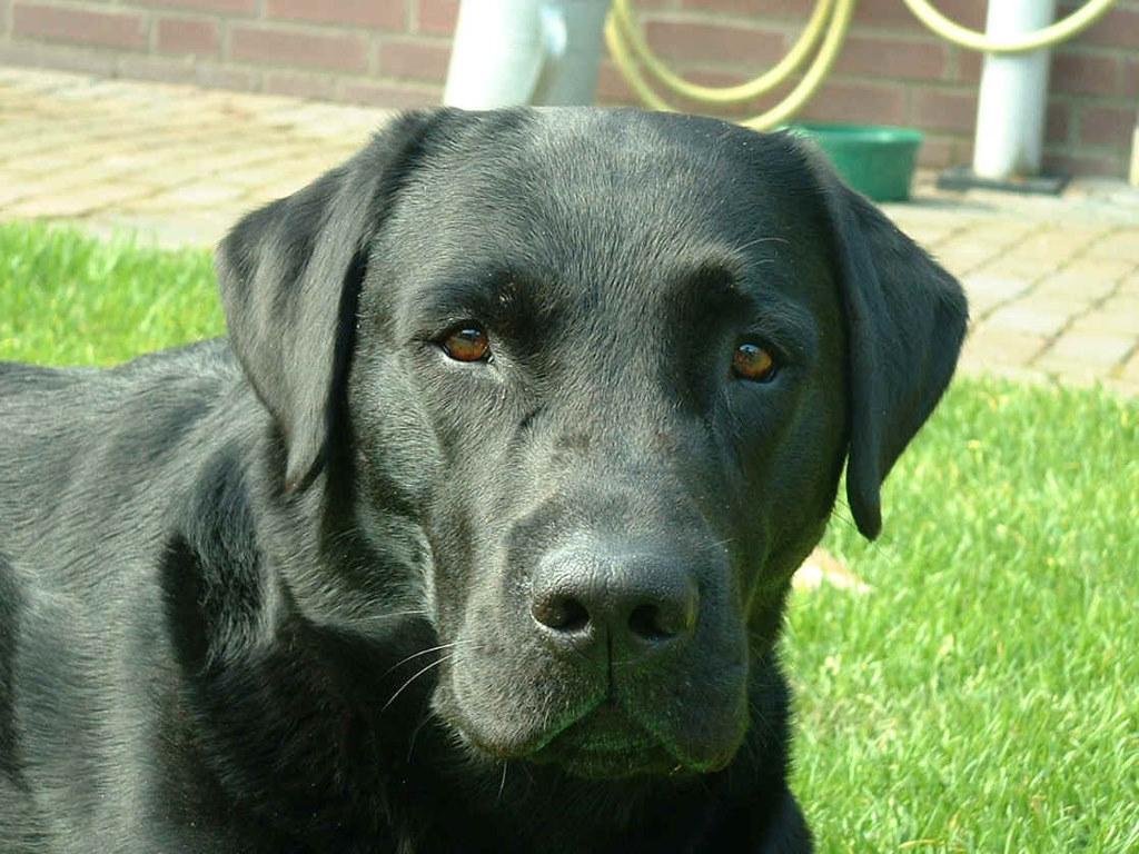 Labrador Redriver