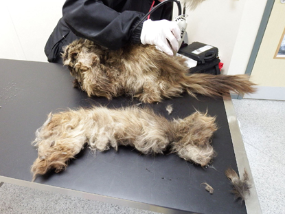 One side of matted cat hair removed