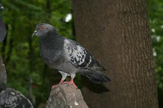 Burung Kolongan